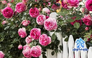 แต่งบ้าน แต่งสวน สวนดอกไม้ ดอกไม้สีชมพู